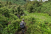 Ranger guides and visitors maneuver their way through dense jungle during a trekking excursion to the Sabyinyo group of gorillas, Volcanoes National Park, Northern Province, Rwanda, Africa