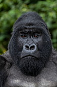 Silverback Guhonda is over 30 years old, two meters tall, weighs more than 200 kg and is the undisputed leader of the Sabyinyo group of gorillas in Volcanoes National Park, Northern Province, Rwanda, Africa