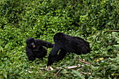 Two young gorillas of the Sabyinyo group of gorillas, Volcanoes National Park, Northern Province, Rwanda, Africa