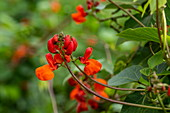 Detail of a magnificent red and orange flower, Volcanoes National Park, Northern Province, Rwanda, Africa