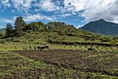 Fertile land with potato fields and volcano, Volcanoes National Park, Northern Province, Rwanda, Africa