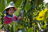 Happy woman harvests peppercorns at the Thuan Dong Pepper Farm, Cua Can, Phu Quoc Island, Kien Giang, Vietnam, Asia