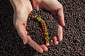 Hands of woman holding fresh and dried peppercorns from the Thuan Dong Pepper Farm, Cua Can, Phu Quoc Island, Kien Giang, Vietnam, Asia