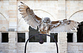 An owl, photographed landing on the top of a well, in a cloister courtyard in northern Spain.