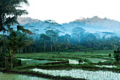 Early morning shot of the jungle and mist surrounding rice paddies in Bali.