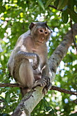 Long-tailed macaque (Macaca fascicularis) on tree next to steps to Mount Phnom Oudong, Oudong (Udong), Kampong Speu, Cambodia, Asia