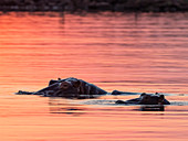 Adult hippopotamusus (Hippopotamus amphibius), bathing at sunset in Lake Kariba, Zimbabwe, Africa