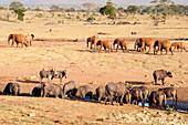 African Buffaloes (Syncerus caffer) drinking, Elephants (Loxodonta africana), Taita Hills Wildlife Sanctuary, Kenya, East Africa, Africa
