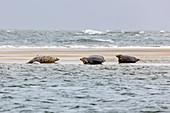 Harbor seal (Phoca vitulina), seal bank, seal, dog seal, North Sea, sand bank, Borkum, East Frisia, Lower Saxony, Germany
