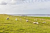 Sheep (Ovis) on the dike, North Sea, Bensersiel, East Frisia, Lower Saxony, Germany