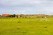 Inner island landscape on Norderney, horses grazing, seagulls, grass, paddock, Norderney, East Frisia, Lower Saxony, Germany