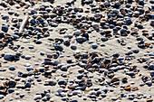 Cockles (Cerastoderma edule), beach, sand, Spiekeroog, East Frisia, Lower Saxony, Germany