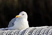 Herring gull (Laridae argentatus) on a beach chair, Spiekeroog, East Frisia, Lower Saxony, Germany