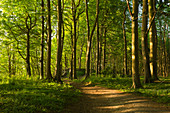 Beech forest on the high bank path from Sellin to Binz, Granitz nature reserve, Ruegen, Baltic Sea, Mecklenburg-Western Pomerania, Germany
