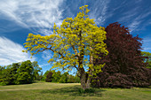 Robinia in the castle park, Putbus, Ruegen, Baltic Sea, Mecklenburg-Western Pomerania, Germany