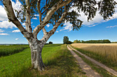 Birch on the field path, Warthe, Lieper Winkel, Usedom, Baltic Sea, Mecklenburg-Western Pomerania, Germany