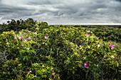 Blooming potato rose (Rosa rugosa) under cloudy sky, Spiekeroog, East Frisia, Lower Saxony, Germany, Europe