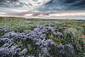 Strandflieder (Limonium vulgare) auf Salzwiese im Nationalpark Wattenmeer bei Sonnenuntergang, Dangast, Varel, Friesland, Niedersachsen, Deutschland, Europa
