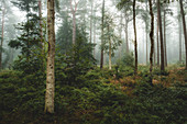 Autumn forest with birch trees in the fog, Wiesede, Friedeburg, Wittmund, East Frisia, Lower Saxony, Germany, Europe