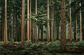 Herbstwald mit Douglasien (Pseudotsuga menziesii) im Nebel, Wiesede, Friedeburg, Wittmund, Ostfriesland, Niedersachsen, Deutschland, Europa