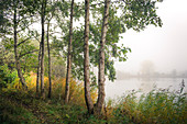 Birch trees in the fog at Ollacker See, Wilhelmshaven, Lower Saxony, Germany, Europe