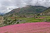 Buckwheat fields bloom above Manang, Nepal, Himalayas, Asia.