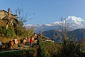 A donkey caravan leaves Ghandruk, Nepal, Himalaya, Asia.