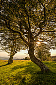 Beeches at Schauinsland, sunset, Black Forest, Baden-Wuerttemberg, Germany
