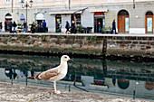 Mittelmeermöwe (Larus michahellis), Canale Grande, Triest, Friaul-Julisch Venetien, Italien