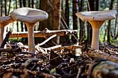 False Chanterelle (Hygrophoropsis aurantiaca), mushrooms, Chiemsee, Bavaria, Germany