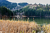 Reed (Phragmites australis) on the bank with pollen, reeds, Spitzingsee, Bavaria, Germany