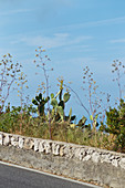 Close-up view from the road to cactuses in Capri, Italy