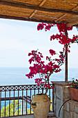 Bougainvillea auf einer Terrasse mit Blick auf das Meer in Capri, Italien