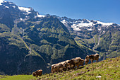 Cattle (Bos taurus), cows on pasture in front of Urner Alps on Fürenalp, Stäuber, Engelberg, Switzerland