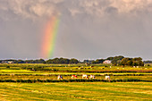 Rainbow, cows, Schleswig-Holstein, Germany