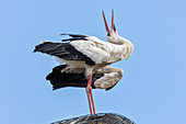 White stork (Ciconia ciconia), Scheswig-Holstein, Germany