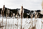 Cattail (Typha angustifolia) at Spitzingsee in winter, Bavaria, Germany