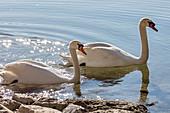 Mute swan (Cygnus olor) at Seehamer See, Bavaria, Germany