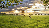 Bruckmühl in the morning light at sunrise, cow, pasture, panorama, Bavaria, Germany