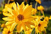 Little-leaved sunflower (Helianthus occidentalis) near Brannenburg, Upper Bavaria, Bavaria, Germany
