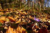 Leberblümchen im Frühlingswald, Bayern, Deutschland, Europa