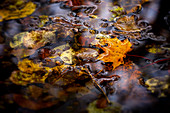 Autumn leaves in the pond, Bavaria, Germany, Europe