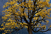 Sycamore maple in the Karwendel in autumn, Eng Alm, Hinterriß, Karwendel, Tyrol, Austria