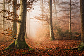 Beech forest on a foggy morning in autumn, Bavaria, Germany, Europe