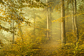 October morning in the beech forest, Bavaria, Germany, Europe