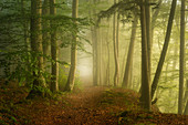 Beech forest on a foggy morning in spring, Bavaria, Germany, Europe