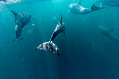 Adult bottlenose dolphins (Tursiops truncatus) bowriding underwater, Isla San Pedro Martir, Baja California, Mexico, North America
