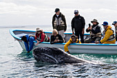 Whale watchers with California gray whale (Eschrichtius robustus), San Ignacio Lagoon, Baja California Sur, Mexico, North America