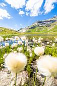 Cotton grass flowers in bloom on shores of Baldiscio lakes, Val Febbraro, Valchiavenna, Vallespluga, Lombardy, Italy, Europe