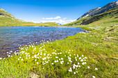 Summer blooming of cotton grass on shores of Baldiscio lakes, Val Febbraro, Valchiavenna, Vallespluga, Lombardy, Italy, Europe